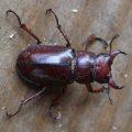 Reddish Brown Stag Beetle