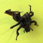 Scarab Beetle Head