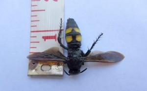 Scarab Hunter Wasp:  Scolia bicincta