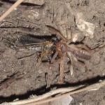 Solifugud eats Cicada