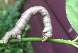 Spanworm