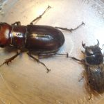 Two Male Stag Beetles:  Reddish Brown Stag (left) and Dorcus parallelus (right)