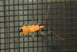 Sycamore Assassin Bug Nymph