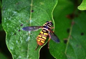 Hover Fly:  Good News Bee