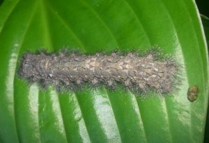 Possibly Tolype Caterpillar