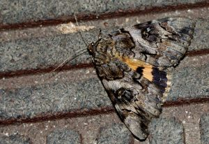 Underwing on the Welcome Mat