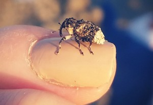 Withy Weevil