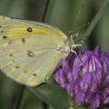 Female Alfalfa Butterfly