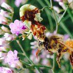 Ambush Bug eats Honeybee