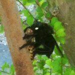 Belzebul Bee Eater