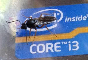Carpenter Ant Alate