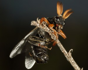 Probably Cedar Beetle
