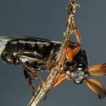 Wedge Shaped Beetle