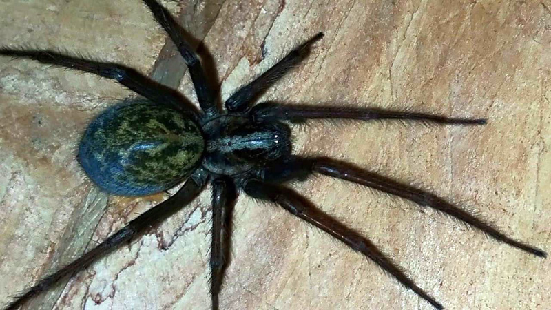 Funnel Web Spiders Archives - What's That Bug?