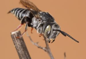 Cuckoo Leafcutter Bee