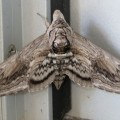 Five Spotted Hawkmoth