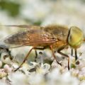 Four Lined Horse Fly