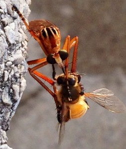 Hanging Thief eats Robber Fly