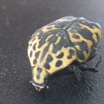 Harlequin Flower Beetle