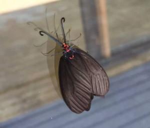 Histia flabellicornis:  Leaf Skeletonizing Moth