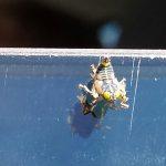 Leafhopper Nymph:  Coelidia olitoria