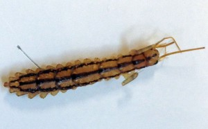 Legless House Centipede