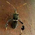 Eastern Leaf Footed Bug