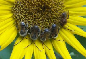 Bachelor Party:  Male Longhorned Bees