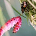 Predatory Stink Bug Nymph eats Sawfly Larva