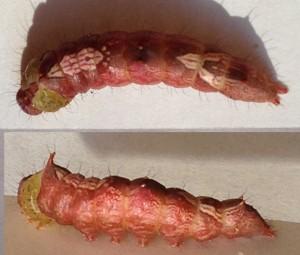 Prominent Moth Caterpillar