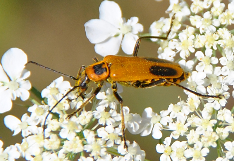 Goldenrod Soldier Beetle - What s That Bug Goldenrod Soldier Beetle