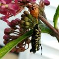 Immature Spined Soldier Bug eats Monarch Caterpillar