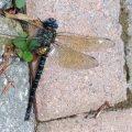 Swamp Darner attacked bt European Hornet