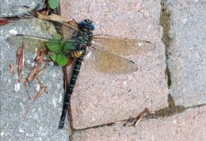 Swamp Darner attacked bt European Hornet