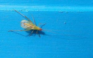 Thermometer Cricket
