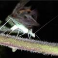 Tree Cricket Ovipositing