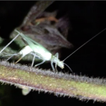 Tree Cricket Ovipositing