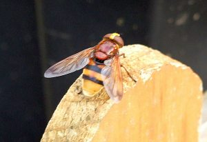 Hoverfly:  Volucella inanis