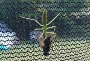 Assassin Bug nymph eats Fly
