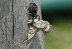 Bold Jumper eats Moth