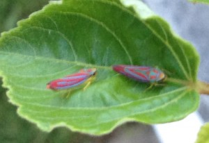 Candystriped Leafhoppers