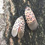 White Cicadas