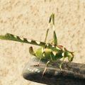 Creosote Bush Katydid