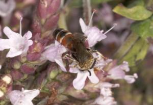 Possibly Cuckoo Bee
