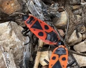 Mating Firebugs
