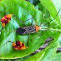 Flag Footed Bug