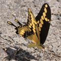 Puddling Giant Swallowtail