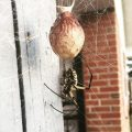 Golden Orbweaver with Egg Sac