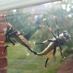 Mating Red Footed Cannibalflies