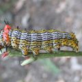 Red Humped Caterpillar